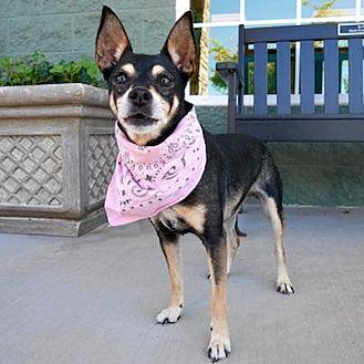 Miniature Pinscher Mix Dog for adoption in Minneapolis, Minnesota - Ruby -Senior