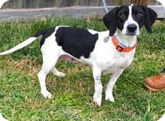 Beagle Mix Dog for adoption in Breinigsville, Pennsylvania - Bessie