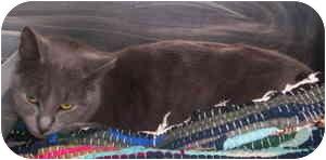 Domestic Shorthair Cat for adoption in Aledo, Illinois - Teddy