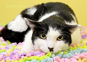 Domestic Shorthair Cat for adoption in Sterling Heights, Michigan - Suzie