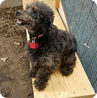 Toy Poodle Dog for adoption in Hurst, Texas - June