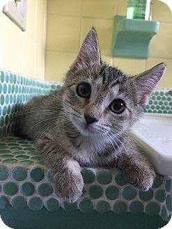 Domestic Shorthair Kitten for adoption in Tampa, Florida - Felicia