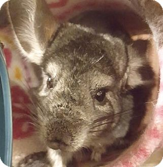 Chinchilla for adoption in Patchogue, New York - Simone