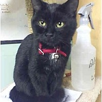 American Shorthair Cat for adoption in Bay City, Michigan - Captain