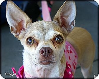 Chihuahua Dog for adoption in Vista, California - Ginger