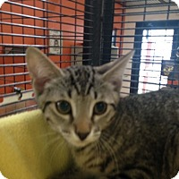 Adopt A Pet :: Perry the Platypus - Sarasota, FL
