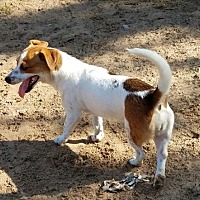 Adopt A Pet :: Darla - San Antonio, TX