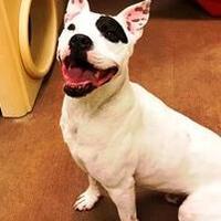 American Pit Bull Terrier/Boxer Mix Dog for adoption in Spokane, Washington - Spot