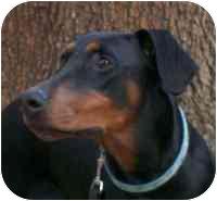 Doberman Pinscher Puppy for adoption in Arlington, Virginia - Dana