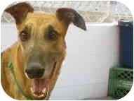 Greyhound Dog for adoption in St Petersburg, Florida - Roo Roo