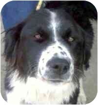 Border Collie/Great Pyrenees Mix Dog for adoption in Colorado Springs, Colorado - Shelby