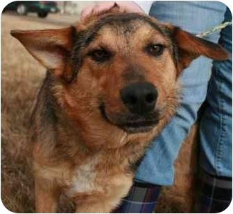 Australian Shepherd/Cattle Dog Mix Dog for adoption in Jerome, Idaho - 4469