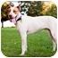 Photo 2 - Australian Cattle Dog/Chesapeake Bay Retriever Mix Puppy for adoption in West Richland, Washington - Tucker