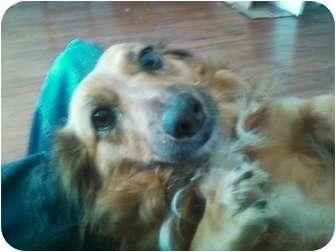 Corgi Mix Dog for adoption in Oak Lawn, Illinois - Belle