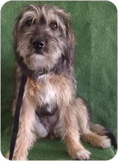 Tibetan Terrier/Schnauzer (Standard) Mix Dog for adoption in Santa Monica, California - LADY