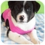 Photo 3 - Rottweiler/Border Collie Mix Puppy for adoption in Struthers, Ohio - Dina