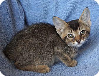 Abyssinian Kitten for adoption in Houston, Texas - Suri