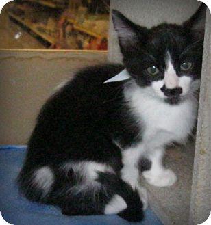 Domestic Shorthair Kitten for adoption in Weatherford, Texas - Senor