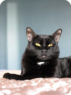 Domestic Shorthair Cat for adoption in Brooklyn, New York - Willie