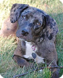Catahoula Leopard Dog/Australian Shepherd Mix Puppy for adoption in Plainfield, Illinois - Houla