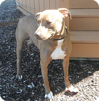 Pit Bull Terrier Mix Dog for adoption in Jackson, Michigan - Precious