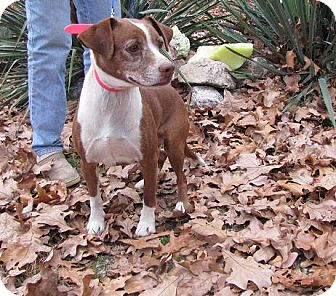 Pug/Boxer Mix Dog for adoption in Oakland, Arkansas - Lily