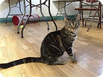 Domestic Shorthair Kitten for adoption in Speonk, New York - Teagan