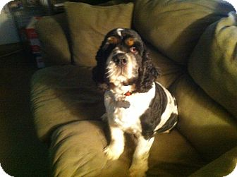 """Cocker Spaniel Mix Dog for adoption in Mentor, Ohio - Maxwell """"Max"""" 4yr Adopted"""