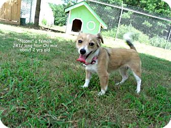 Jack Russell Terrier/Chihuahua Mix Dog for adoption in Gadsden, Alabama - Naomi