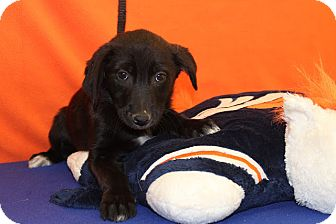 Australian Cattle Dog/Border Collie Mix Puppy for adoption in Broomfield, Colorado - Champ