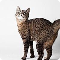 Adopt A Pet :: Chatty - Rockaway, NJ