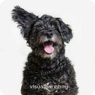 Poodle (Miniature)/Schnauzer (Miniature) Mix Dog for adoption in Phoenix, Arizona - Grizzly