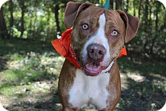 Pit Bull Terrier Mix Dog for adoption in Voorhees, New Jersey - Tucker