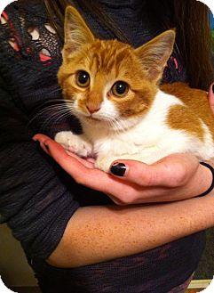 Domestic Shorthair Kitten for adoption in Chisholm, Minnesota - Jasmine