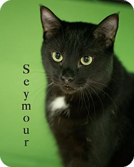 Domestic Shorthair Cat for adoption in West Des Moines, Iowa - Seymour