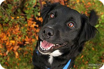 Border Collie Mix Dog for adoption in Portland, Oregon - Midnight