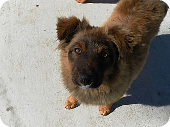 Chow Chow/Collie Mix Puppy for adoption in Groton, Massachusetts - Sheila