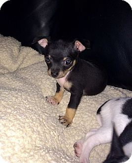 Chihuahua Puppy for adoption in Newport Beach, California - Holly