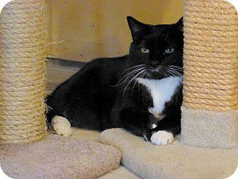 Domestic Mediumhair Cat for adoption in Carlisle, Pennsylvania - Penguin