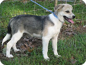 Great Pyrenees/Feist Mix Puppy for adoption in Hartford, Connecticut - Caleb