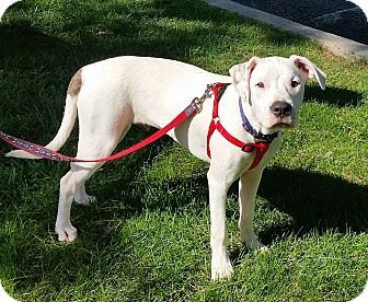 American Bulldog/Boxer Mix Puppy for adoption in Bardonia, New York - Watts