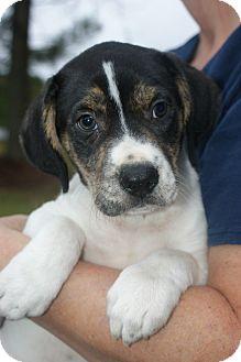 Hound (Unknown Type)/Retriever (Unknown Type) Mix Puppy for adoption in Baltimore, Maryland - Noelle