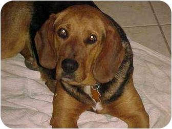Bloodhound/Beagle Mix Dog for adoption in Buffalo, New York - Inga: SPONSORED