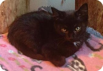 Domestic Shorthair Kitten for adoption in West Des Moines, Iowa - Dottie