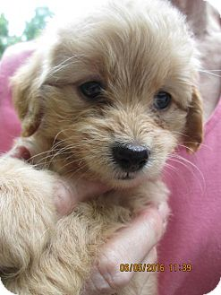 Poodle (Miniature)/Dachshund Mix Puppy for adoption in Brookside, New Jersey - Yagi