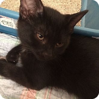 Domestic Shorthair Kitten for adoption in Salem, Ohio - Sawyer