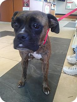 Boxer Dog for adoption in Huntley, Illinois - Brandy