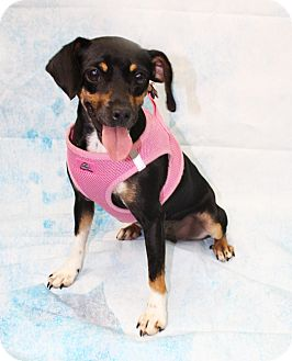 Miniature Pinscher Mix Dog for adoption in Boca Raton, Florida - Sunshine