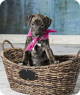 Pit Bull Terrier Mix Puppy for adoption in Iroquois, Illinois - Hazel (puppy)