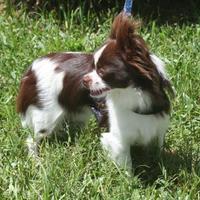 Adopt A Pet :: Stewie - Umatilla, FL